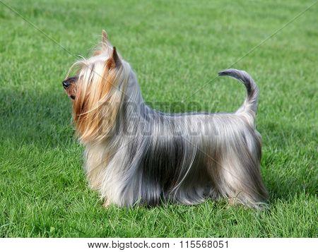 Australian Silky Terrier  In The Spring Garden