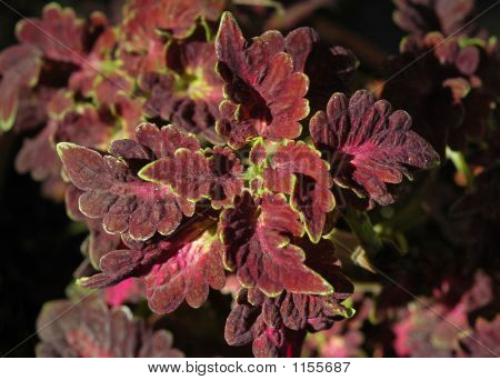 Dark Red Coleus Close-Up