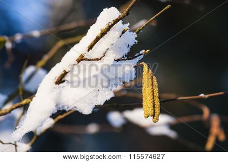 Hazel Blooms With Snow