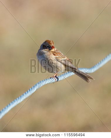 Field Sparrow On Wire
