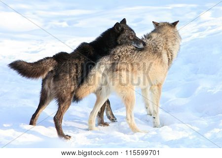 Black wolf taking dominant position over wolf