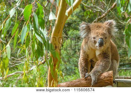 Australian Koala on a branch