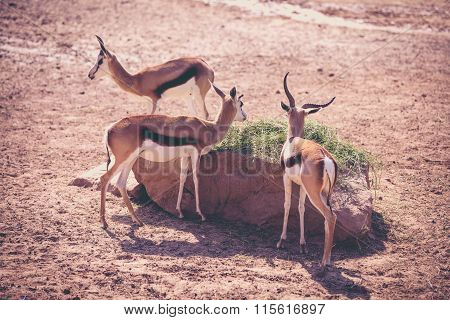Flock Of The Gemsbok Is A Large Antelope In The Oryx Genus. Outdoors. Vintage Picture Style..