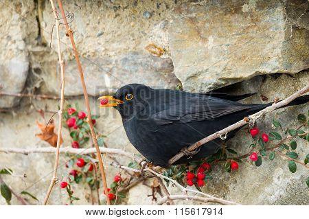 Male Of Common Blackbird