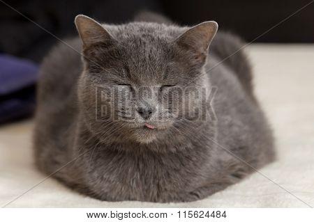 Chartreux cat sleeping