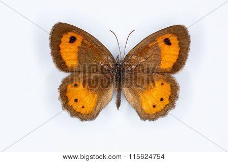 Spanish Gatekeeper, Pyronia Bathseba  Butterfly On White