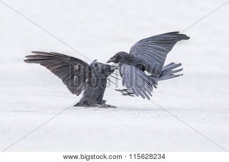 Crow Corvus corone on the ice in the Winter