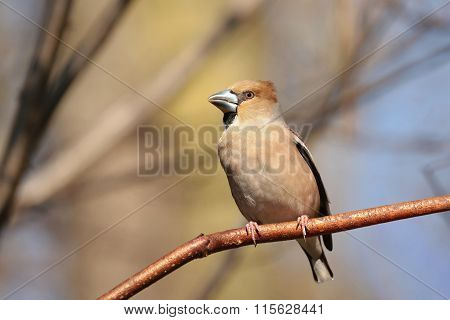 Hawfinch bird on tree branch twig fall trees sunrise Nature background colors dawn morning sunset Nature background Birds Natural environment Nature background sunshine sun Nature background autumn forest woods Nature background Animal Nature background. poster