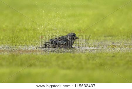Jackdaw Corvus monedula washing in a puddle of water