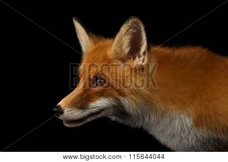Closeup Portrait Of Red Fox In Profile Isolated On Black