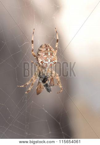 A spider (Araneus diadematus) going towards its prey