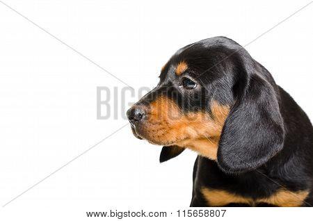 Portrait of puppy Slovakian Hund