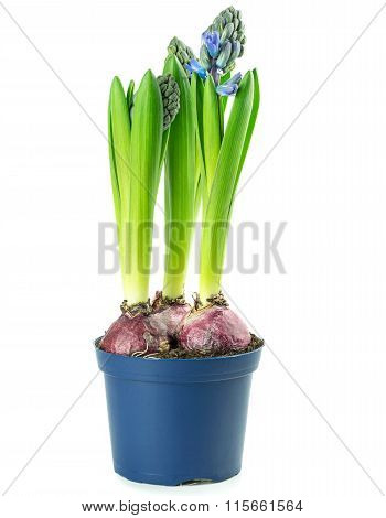 A pot of hyacinth flowers with bulbs
