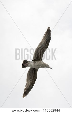 A seagull spreads its wings as it glides effortlessly through a white sky