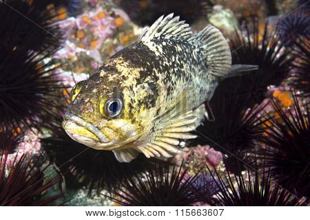 A copper rockfish in California's Channel Islands rests on a bed of purple sea urchins that engulf a reef.