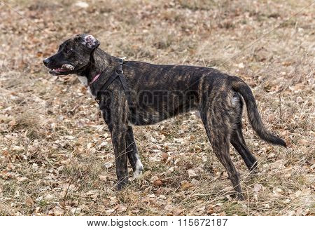 Half bred  brindle boxer  with red anti ticks collar on a neck playing
