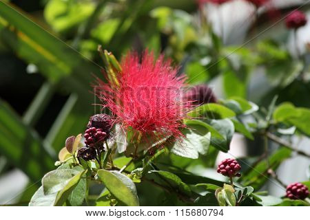 powder puff plant