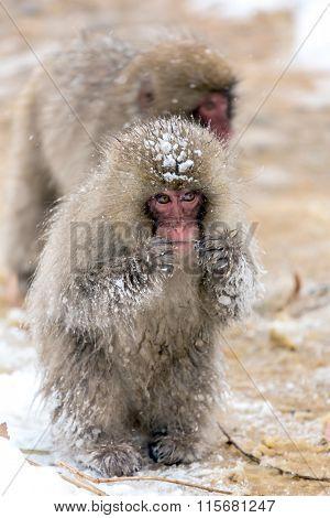 Japanese Snow Monkey Macaque at Jigokudani  Yudanaka Nagano Japan