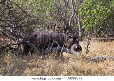 Hippopotamus lurking on land
