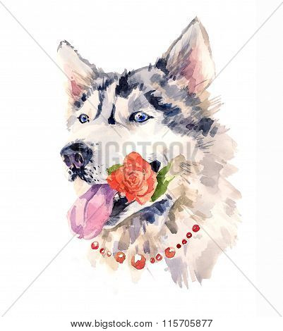 Coquettish siberian dog with a rose in the mouth.