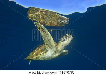 Green Sea Turtle (Chelonia mydas) swimming in clear blue ocean