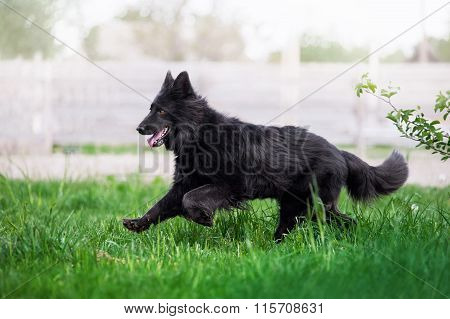Beautiful black Swiss Shepherd runs gallop on the field in the tall grass