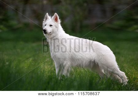 White Swiss Shepherd dog standing in front exterior in the tall grass