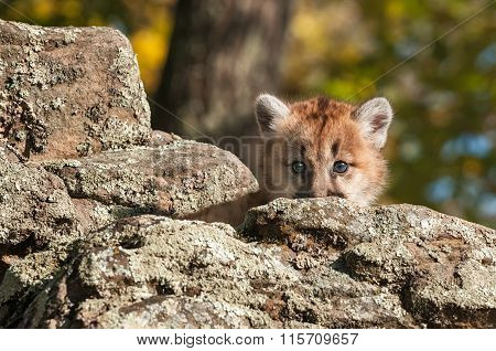 Female Cougar Kitten (puma Concolor) Looks From Behind Rock