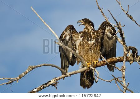 Young Bald Eagle Calling From High In A Barren Tree