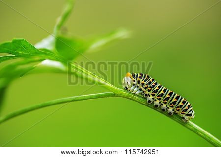 Beautiful Green Caterpillar Creeps On A Green Grass