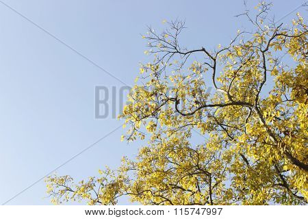 Abstract Yellow Bloom Ginko Tree On Blue Sky