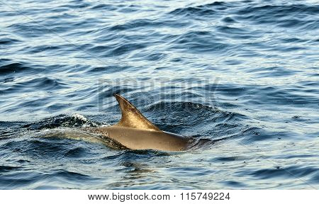 Back Fin Of A Dolphin, Swimming In The Ocean  And Hunting For Fi