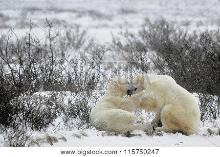 Fighting Polar Bears (ursus Maritimus ) On The Snow. Arctic Tundra.