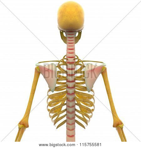 Human Skeleton Joint Pains (Spinal Cord and Scapula)
