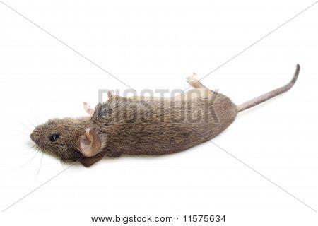 The Dead Mouse