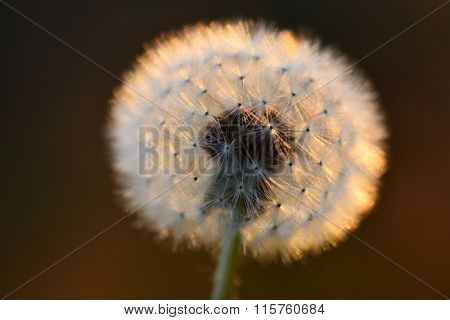 Detail of dandylion weeds seeds in sunlight