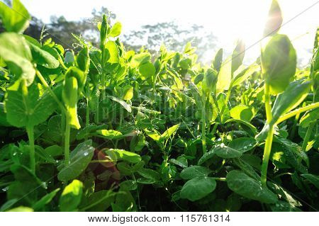 green pea crops in growth at sunshine vegetable garden