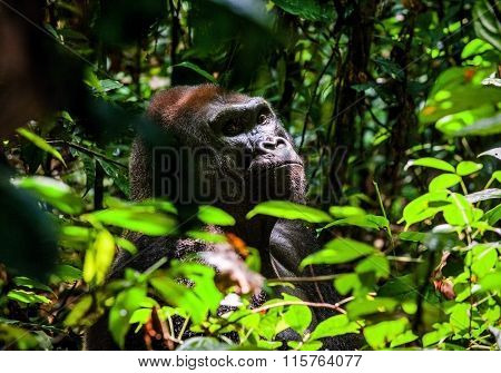 Portrait Of A Western Lowland Gorilla (gorilla Gorilla Gorilla) Close Up At A Short Distance. Silver