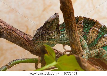 chameleon sheds