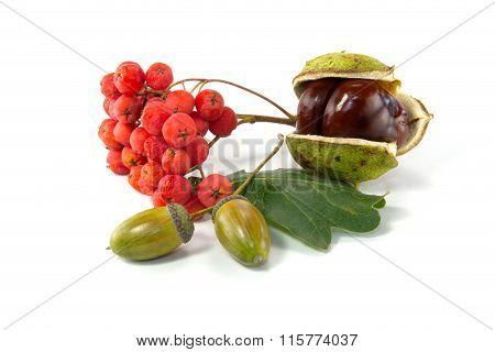 Rowan, An Acorn And A Chestnut