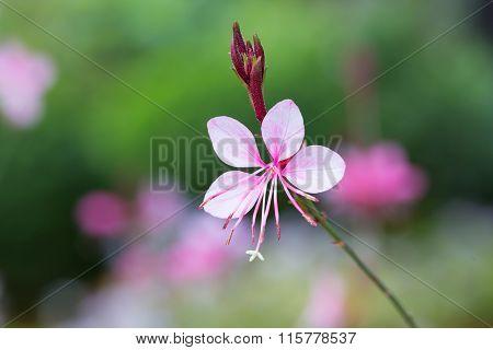Gaura Lindheimeri Or 'whirling Butterflies Flower