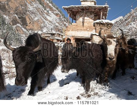 Man Driving Yaks And Stupa In Pungmo Village