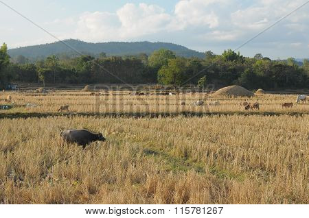 Group of buffalo family eating on rice field