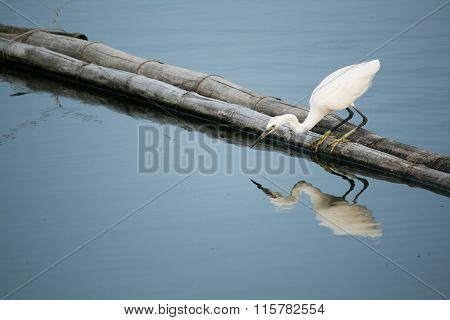 Egret bird find fish in the water