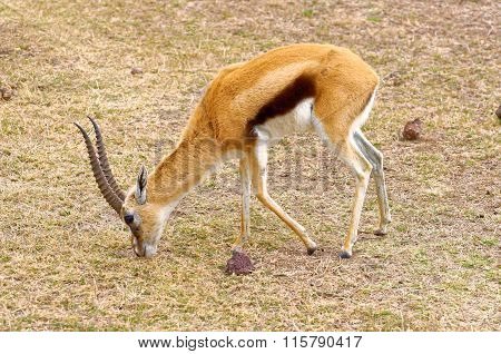 Thomson's gazelle male, Serengeti, Tanzania