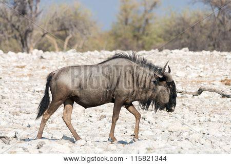 Blue Wildebeest In Namibia, Africa