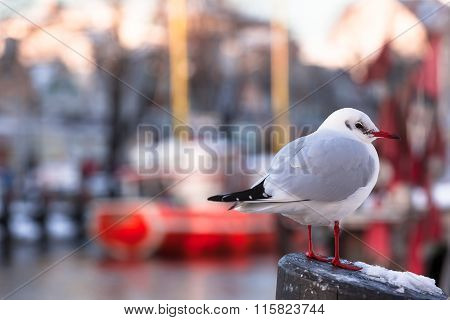 Seagull at Wintry Harbor