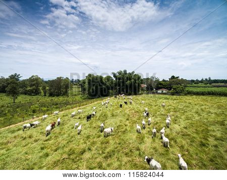 Cows on a Farm in Rural Area in Sao Paulo, Brazil