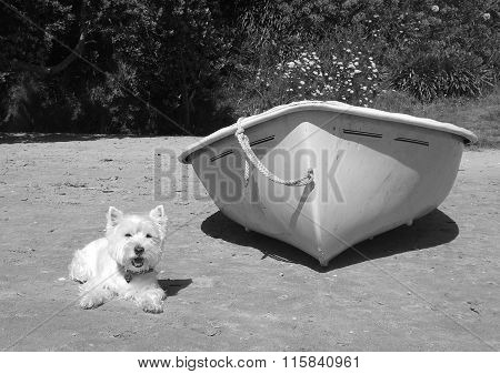 West highland white terrier next to a rowing dinghy on a sandy beach