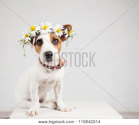 Dog with a wreath of daisies on her head. Fun pet